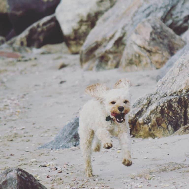 Creative & Practical's Dog: Riley The Cockapoo